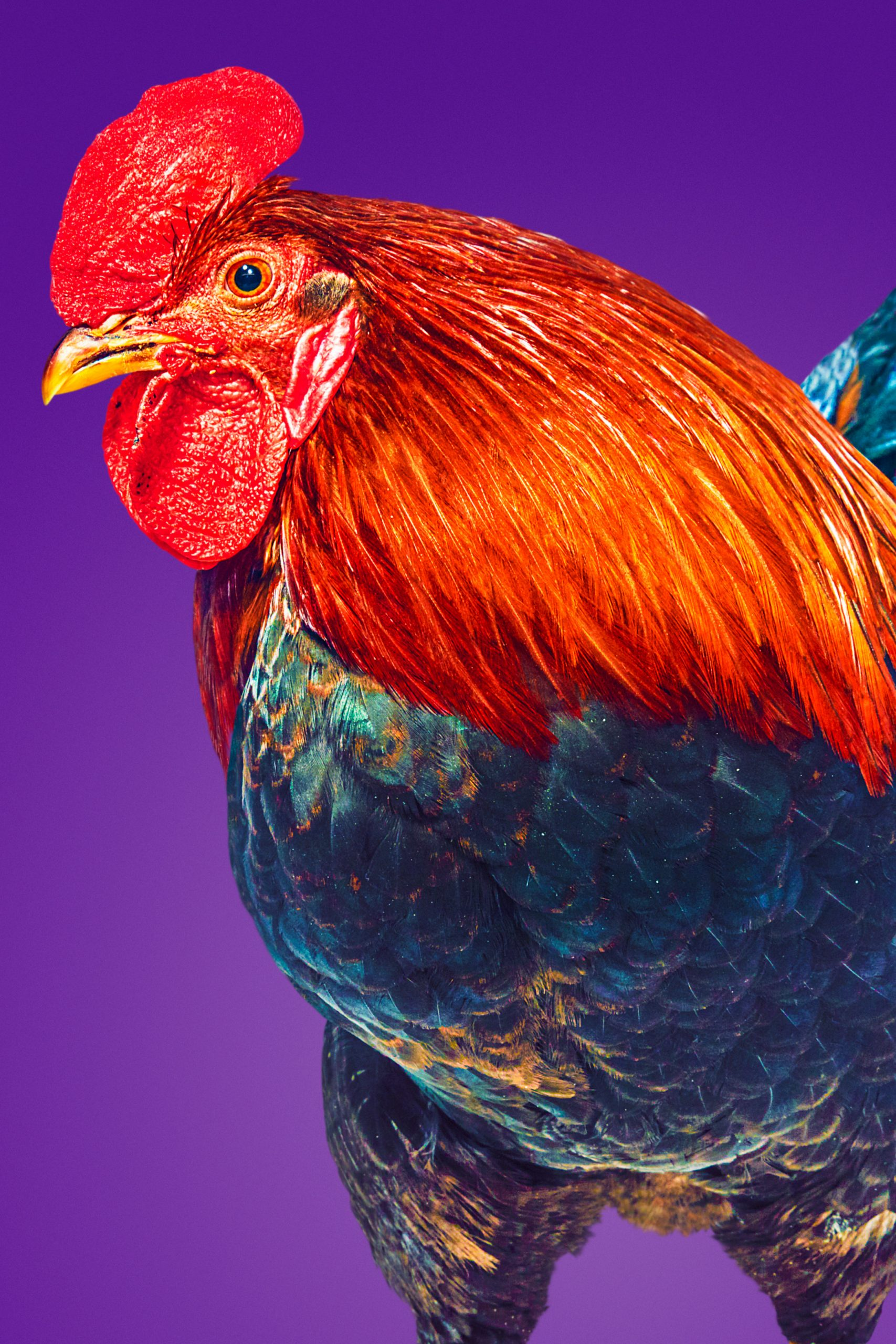 Colourful rooster against purple backdrop